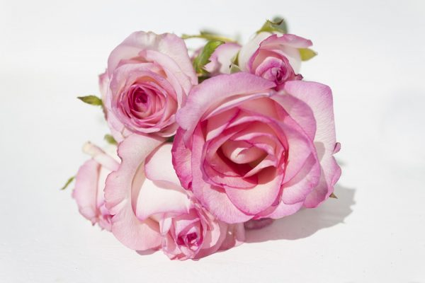 bunch pink roses on white background - copy space