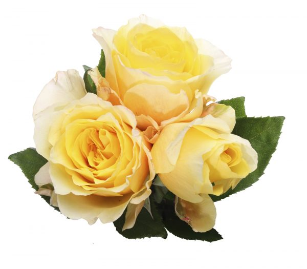 Pictured a bouquet of roses in a white background.